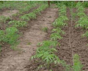 Пошаговый посев томатов под зиму в открытый грунт