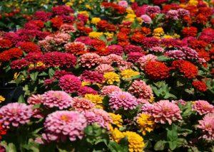 Правила выращивания циннии из семян, и когда ее сажать
