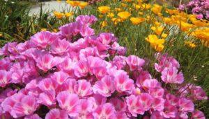 Правила выращивания годеции из семян, и когда ее сажать