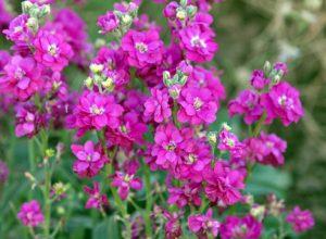 Правила выращивания маттиолы из семян, и когда ее сажать
