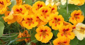 Правила выращивания настурции из семян, и когда ее сажать