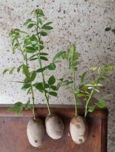 Способ выращивания черенков розы в картошке