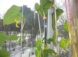Способы выращивания огурцов зимой на подоконнике