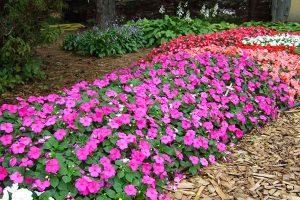 Уход, посадка и выращивание садового бальзамина