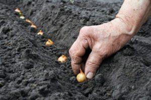 Все про посев лука под зиму в грунт