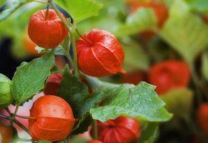 Выращивание, фото и уход в домашних условиях за декоративным физалисом