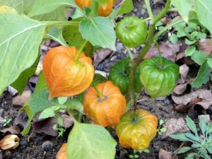 Выращивание, фото и уход в домашних условиях за овощным физалисом
