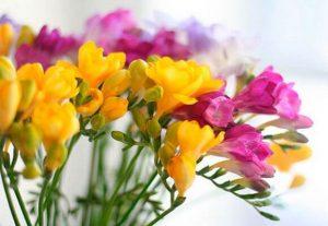 Выращивание и уход за фрезией