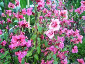 Выращивание и уход за изящной кларкией
