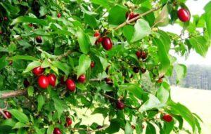 Выращивание и уход за кизилом