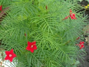 Выращивание и уход за перистым квамоклитом
