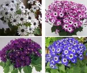 Выращивание комнатной цинерарии из семян и особенности ухода