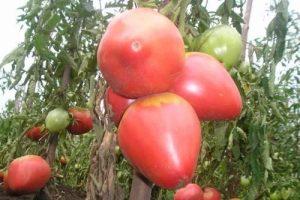 Какие есть сладкие сорта томатов для теплиц