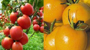 Лучшие сорта помидоров для выращивания в теплице в Подмосковье