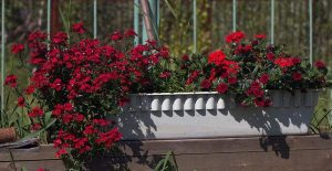 Пошаговое выращивание и уход за немезией в домашних условиях