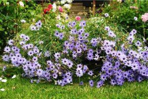 Особенности выращивания катананхе из семян в домашних условиях