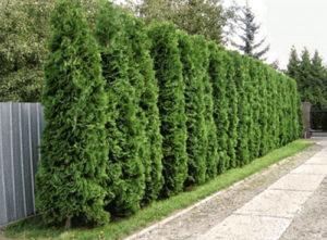 Живая изгородь из можжевельника — броский акцент и защита участка