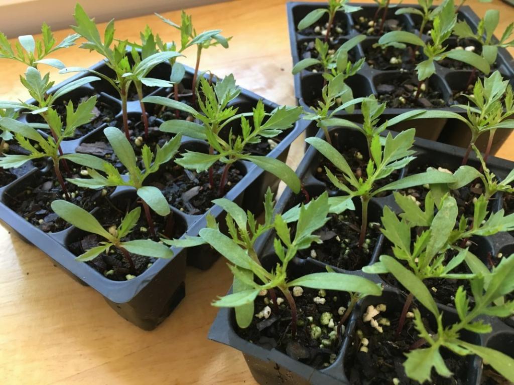 Бархатцы - выращивание из семян