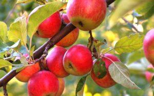 Какой сорт яблони выбрать для средней полосы и где купить саженцы