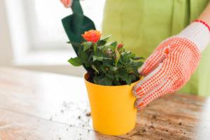 Как правильно вырастить розу из букета в домашних условиях
