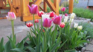 Можно ли сажать тюльпаны весной, и как правильно