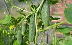 Огурцы: продлить плодоношение можно подкормкой и прореживанием кустов