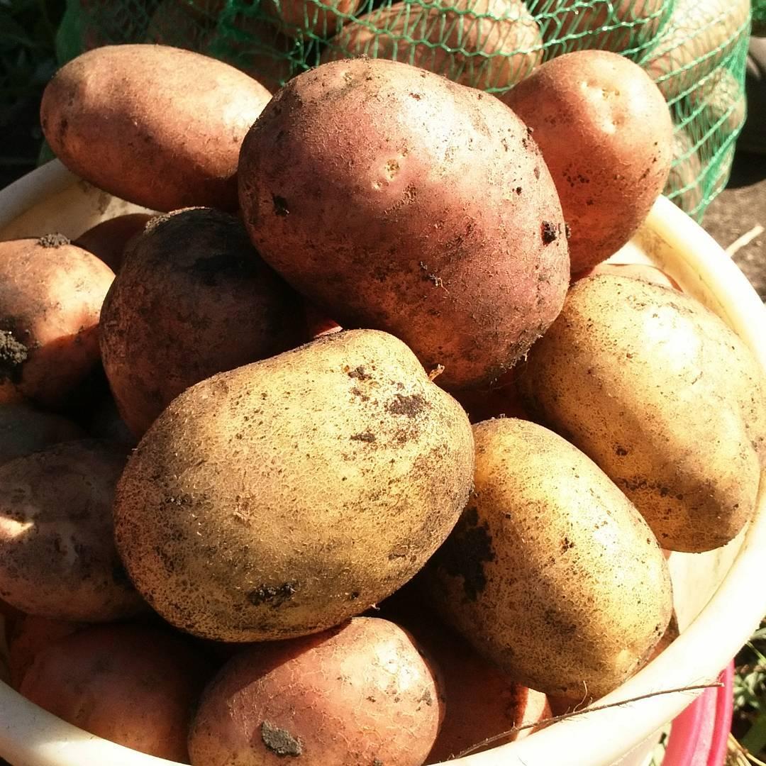 Когда выкапывать картофель на хранение в 2021 году по лунному календарю